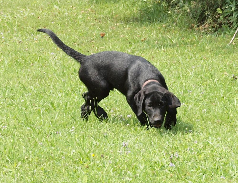 Buddy (aka Drake)  2012 started pup