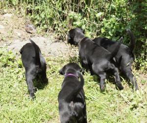 Pups chasing hungarian